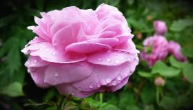 Jana růže růžová