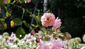 Jana růže